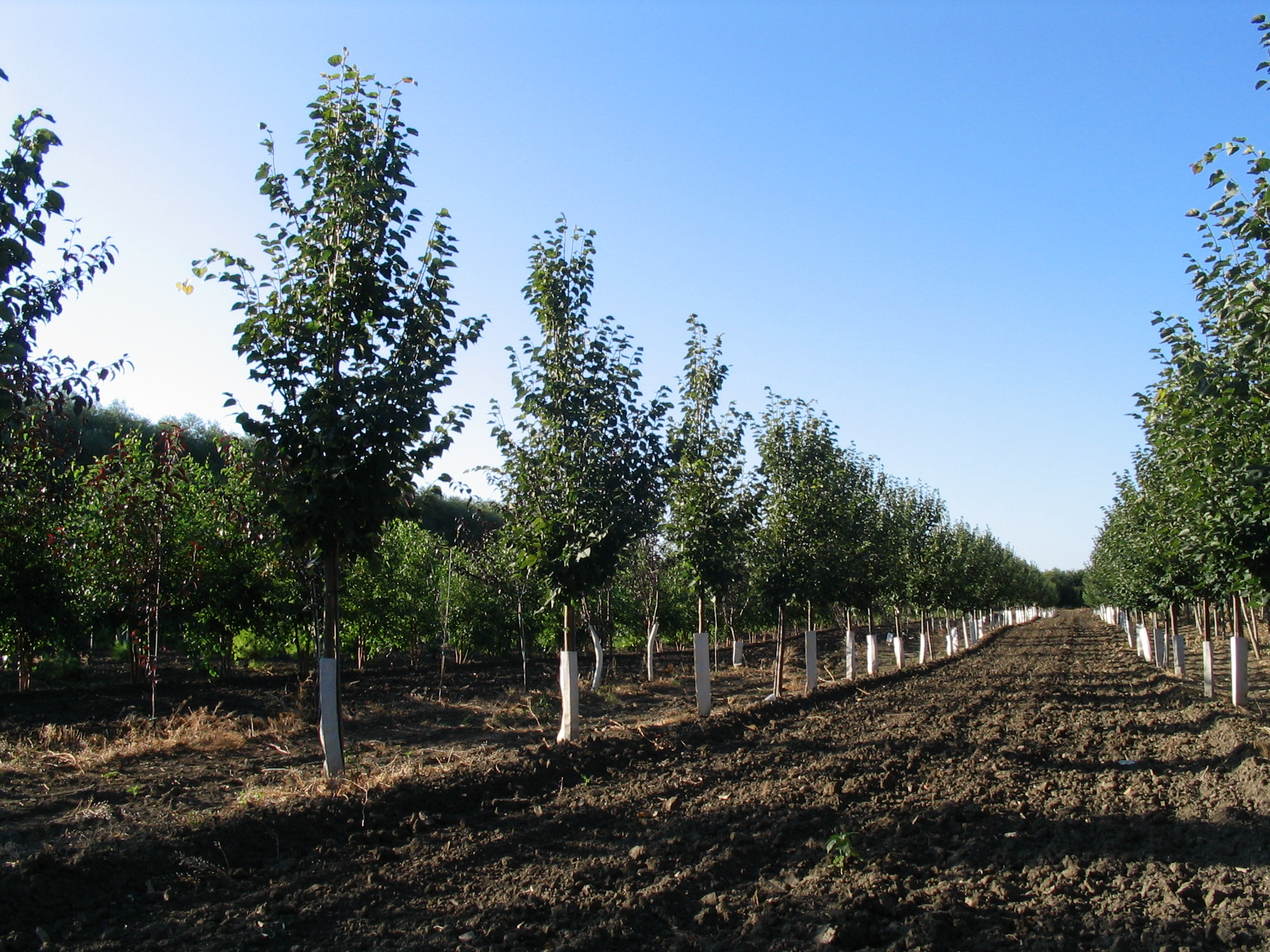 Lakeshore Tree Farms - Your Source for Prairie Hardy Caliper